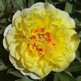 Paeonia 'Bartzella'