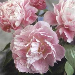 Paeonia lactiflora 'Catherine Fontijn'