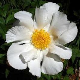 Paeonia lactiflora 'Krinkled White'