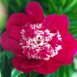 Paeonia lactiflora 'Nellie Saylor'