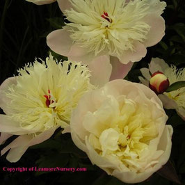 Paeonia lactiflora 'Immaculée'