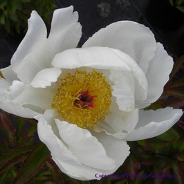 Paeonia lactiflora 'White Wings