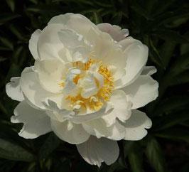 Paeonia lactiflora 'Gardenia'