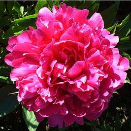 Paeonia lactiflora 'Bunker Hill'