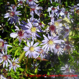 Aster 'Little Carlow' - AGM