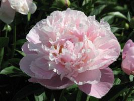 Paeonia lactiflora 'Lady Alexandra Duff ' AGM