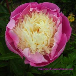 Paeonia lactiflora 'Bowl of Beauty' (AGM)