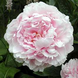 Paeonia lactiflora 'Sarah Bernhardt' (AGM)