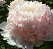 Paeonia lactiflora 'Mr Ed'