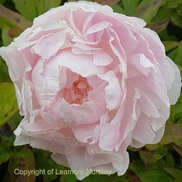 Paeonia lactiflora 'Nancy Nora'
