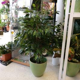 Ficus mit Echtholz Lianenstamm