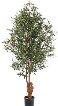 Olivenbaum UV-Sicher