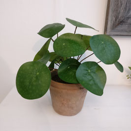 Pilea Pflanze im Topf