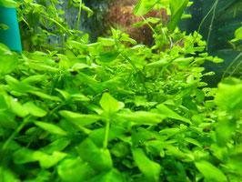 Bacopa australis (ShrimpfarmFFM)