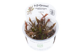 In Vitro Cryptocoryne undulatus red