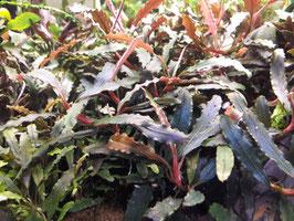 Bucephalandra Velvet Tricolor (ShrimpfarmFFM)