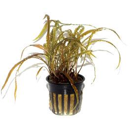 Topfpflanze Cryptocoryne crispatula