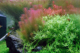 In Vitro rotala wallichii