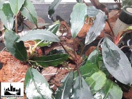 Bucephalandra Dark Afika 1 Trieb