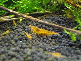 Tangerine Tiger Garnele Goldene Tiger Garnele
