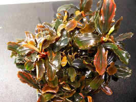 Bucephalandra theia V6 (ShrimpfarmFFM)