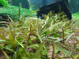 """Hygrophila lancea """"Araguaia"""" (ShrimpfarmFFM)"""