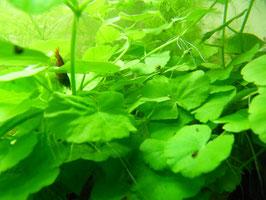 Hydrocotyle leucocephala (ShrimpfarmFFM)