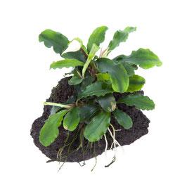 Bucephalandra 'wavy green' auf Lava
