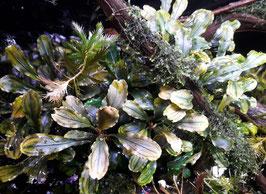 Bucephalandra 'wavy green' 1 Trieb (ShrimpfarmFFM)