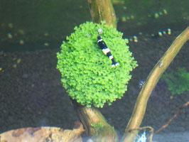 Korallenmoos riccardia chamedryfolia (ShrimpfarmFFM)