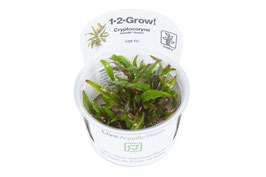 In Vitro Cryptocoryne wendtii green