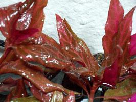 Alternanthera reineckii 'rosanervig' (ShrimpfarmFFM)