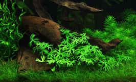 In Vitro Ranunculus inundatus