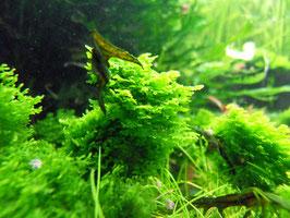 Korallenmoos Riccardia sp. (ShrimpfarmFFM)