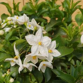 Sommerjasmin | Solanum jasminoides