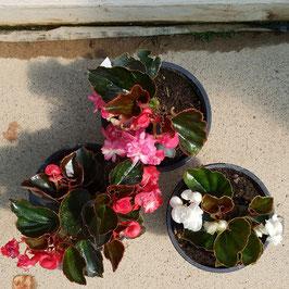 Gefüllte mini Begonie | Begonia Doubleta