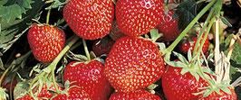 Erdbeer 'Wädenswil 6'