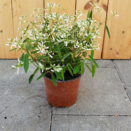 Zauberschnee | Euphorbia Diamond Frost