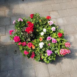 Stehende-Geranie | Pelargonium Zonale