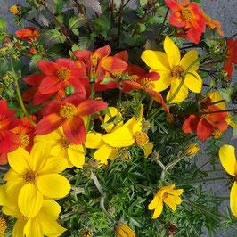 Goldmarie | Bidens ferulifolia