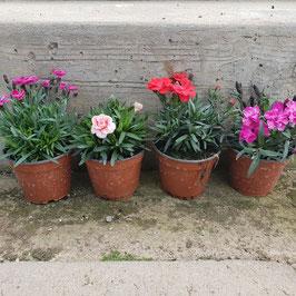 Nelke | Dianthus x hybrida