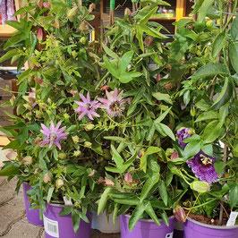 Passionsblume | Passiflora Cultivars