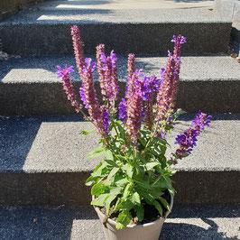 Salbei | Salvia nemorosa