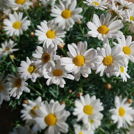 Margeriten | Argyranthemum frutescens