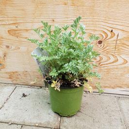 Wermut | Artemisia absinthium