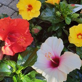 Roseneibisch | Hibiscus rosa-sinensis