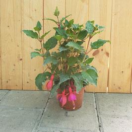 Fuchsie | Fuchsia Cultivars