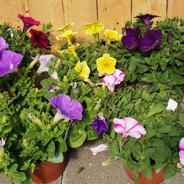 Petunie / Surfine | Petunia Surfina Cultivars