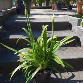 Schmucklilie | Agapanthus africanus