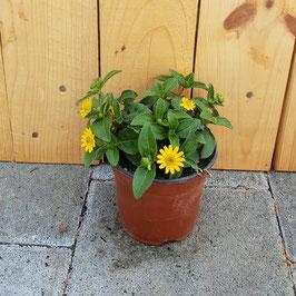 Husarenknöpfchen | Sanvitalia procumbens